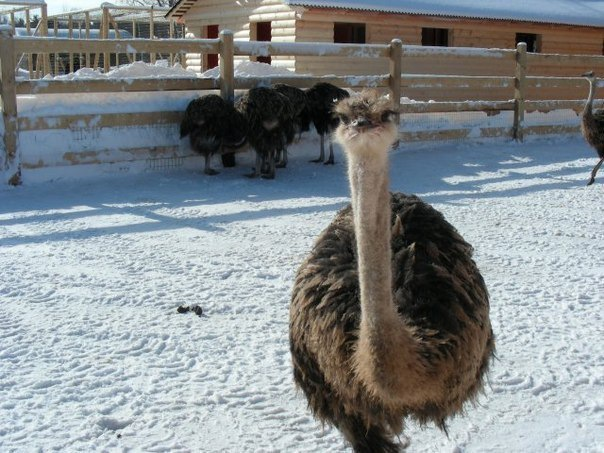 Топ-5 страусиных ферм в окрестностях Санкт-Петербурга
