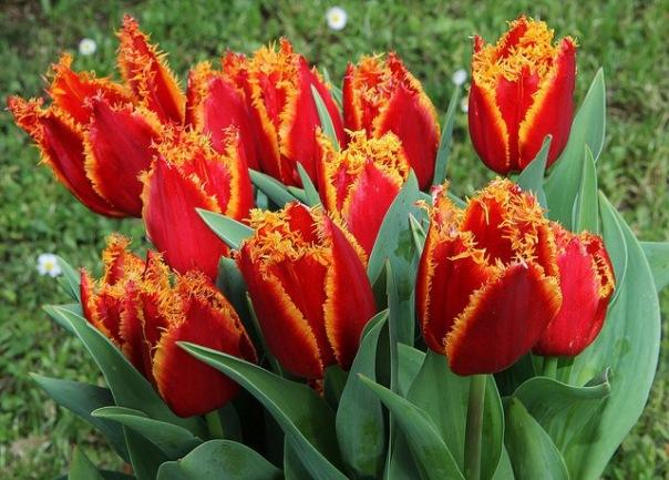 В Петербурге открывается первая городская ярмарка редких сортов тюльпанов