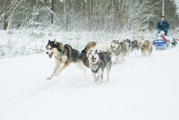 Обучение катанию на собачьих упряжках Хаски в Санкт-Петербурге