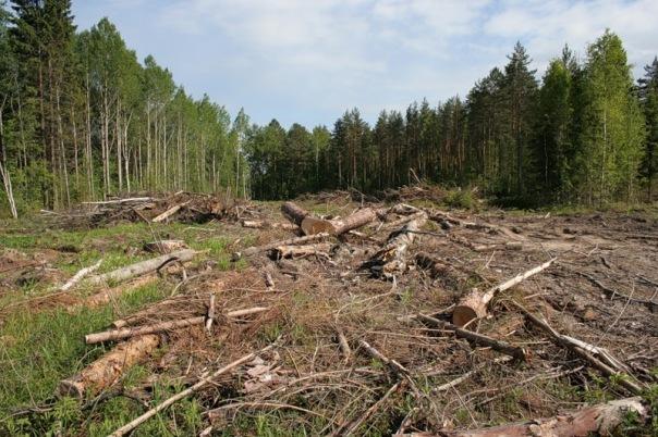 Компании Сити 78 запретили рубить лес и строить в Токсово коттеджный поселок бизнес-класса «Кавголовское озеро. Загородная резиденция»