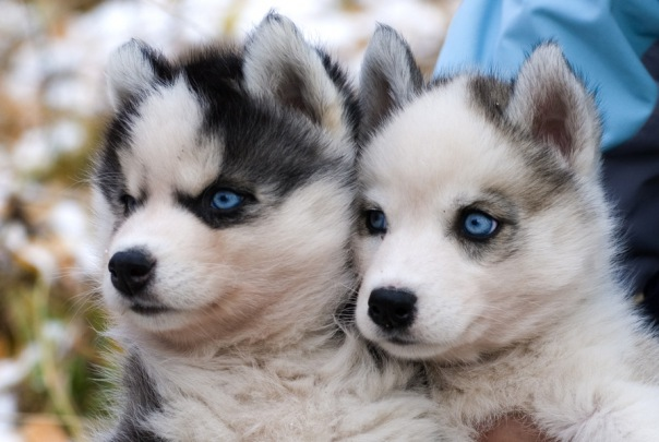 У петербурженки во время прогулки отобрали щенка хаски