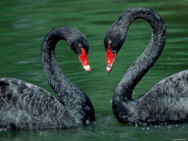 В пруду Крестовского острова появится пара чёрных лебедей
