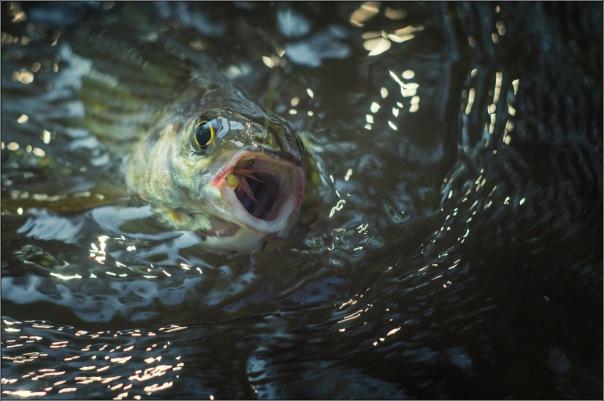 В Охте продолжает гибнуть рыба