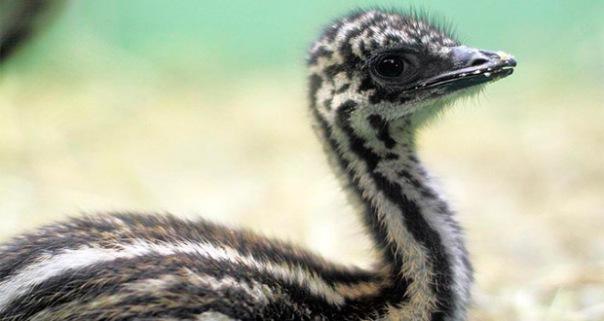 Новорожденных эму Ленинградского зоопарка назвали Прасковья и Ерофей