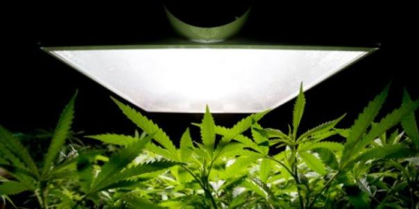 В Колпино нашли две плантации марихуаны