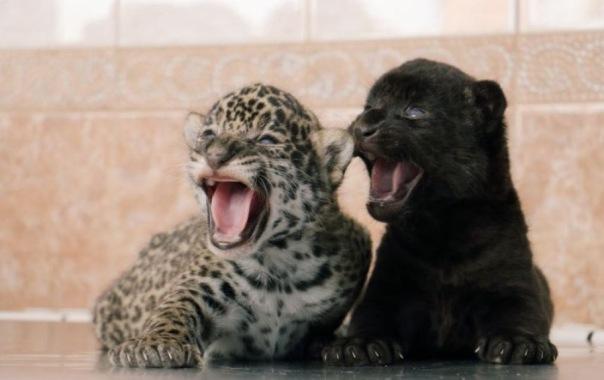 Ягуарятам из Ленинградского зоопарка выбрали имена Фото: все - предоставлены Ленинградским зоопарком