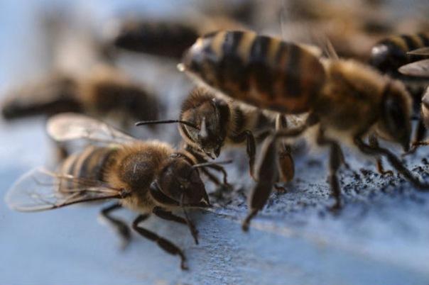 Петербург присоединился к международной акции в защиту пчёл