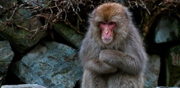 Мэр японского города подарит Ленинградскому зоопарку макак