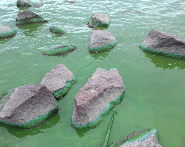 Под Петербургом воды Финского залива стали зелеными