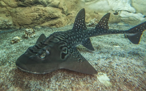 Акулий скат поселился в Океанариуме Петербурга