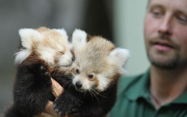 В Ленинградском зоопарке появятся красные панды