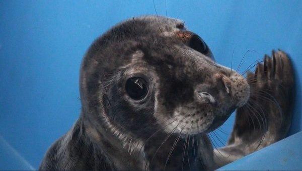 Детеныша тюленя спасли и направили на реабилитацию в Петербург