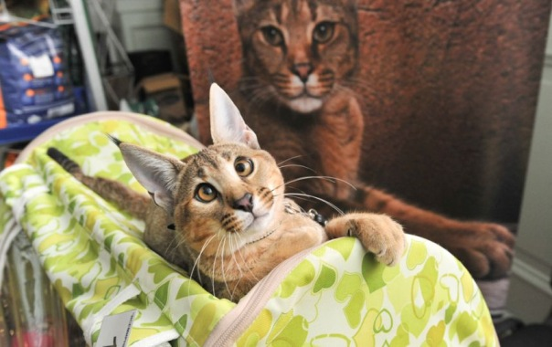 Самая дорогая кошка в Петербурге стоит 1,5 млн рублей