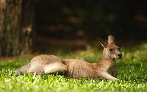 В Петербург из Калининграда прилетел кенгуру