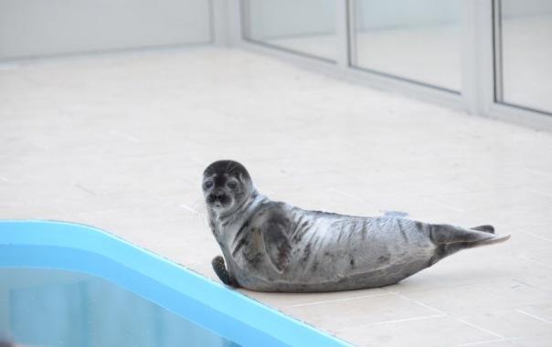 Центр реабилитации ластоногих проводит сбор средств на содержание нерп и тюленей