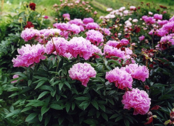 На выставке в Ботаническом саду расцветут сотни пионов