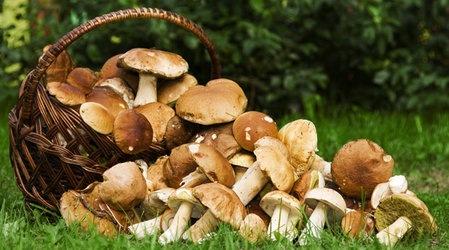 Сезон открыт: в лесах Ленобласти появились первые грибы