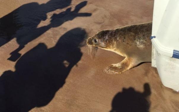 Ещё один тюлень отправился на волю: самочку Окуневу выпустили в Финский залив