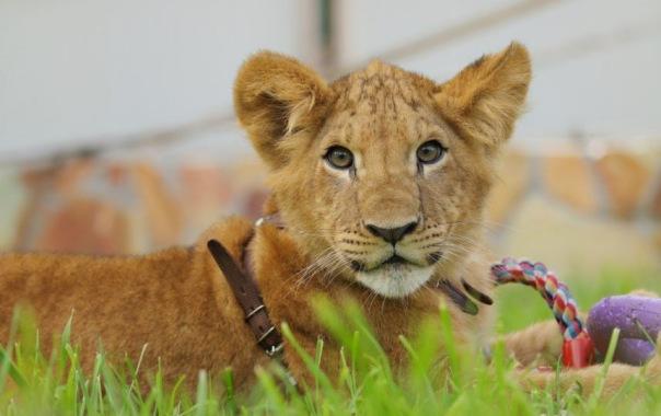 Львёнок Исаакий покинет Ленинградский зоопарк в конце сентября