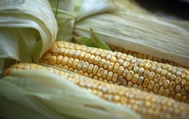 24 тонны зараженной кукурузы не пустили в Петербург