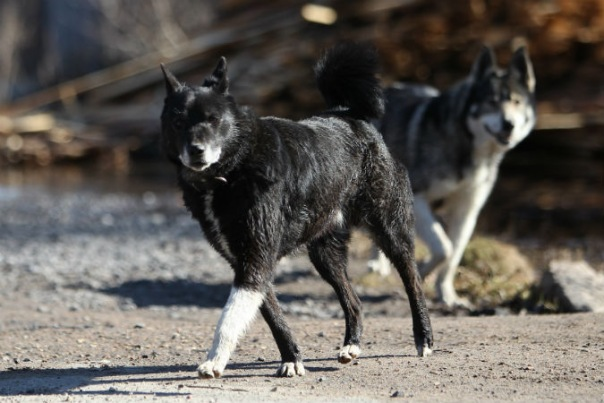 Петербурженку оштрафовали за выгул собаки без намордника