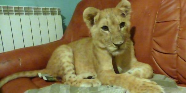 Львица Бонни переедет в крымский зоопарк