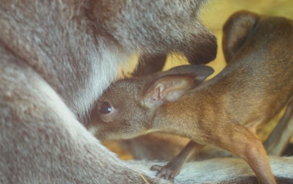 Фото маленьких кенгурят из Ленинградского зоопарка умиляет пользователей Сети