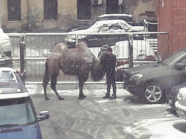 На Васильевском острове под снегом разгуливал верблюд