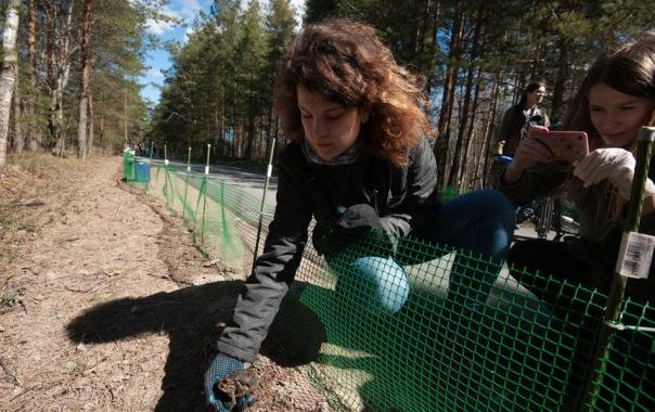 Петербургские волонтеры помогли мигрирующим амфибиям