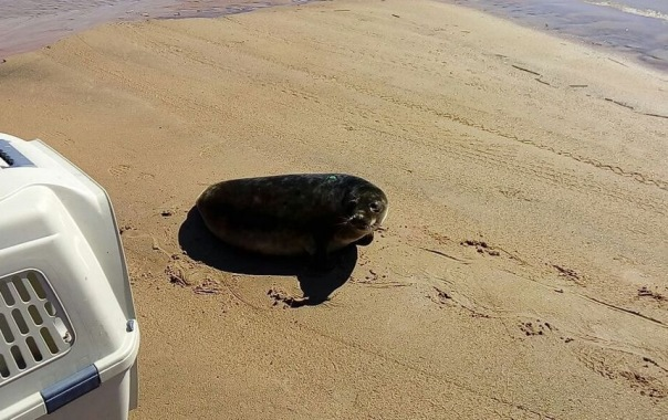 Тюленёнок Валдай отправился на волю после реабилитации